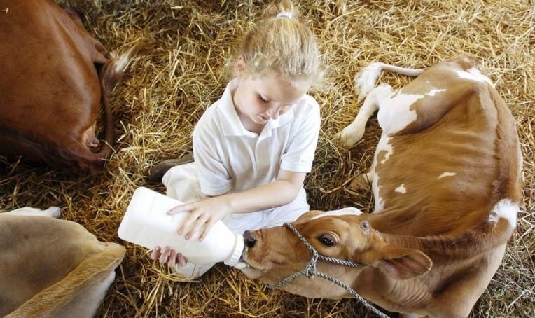 коровье молозиво польза