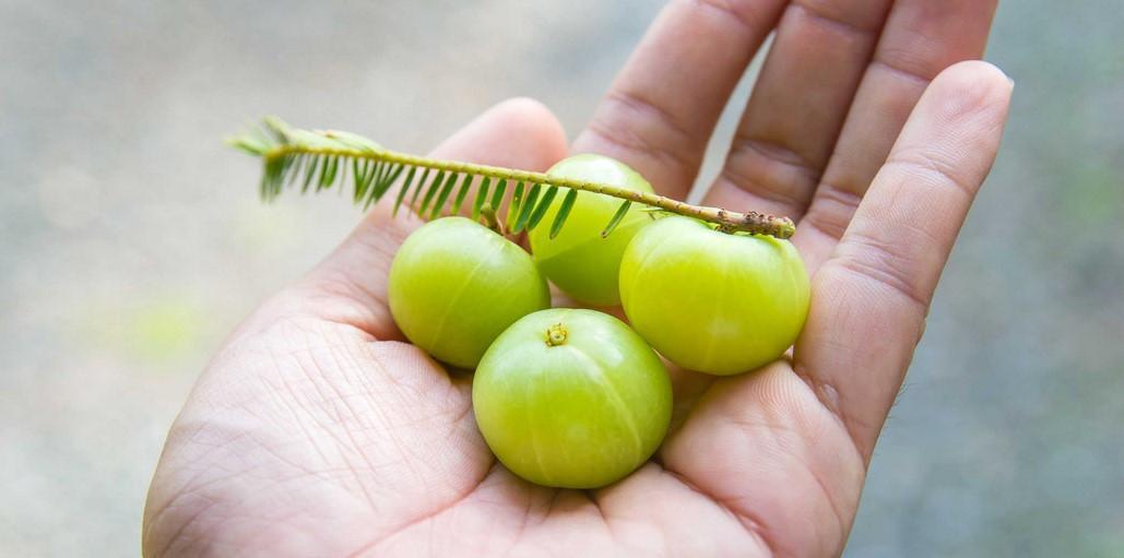 Лекарственное растение Амла