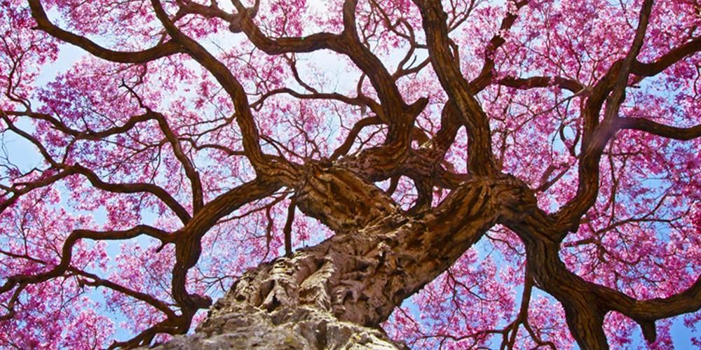 кора муравьиного дерева айхерб отзывы