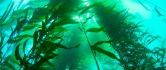 Растение ламинария
