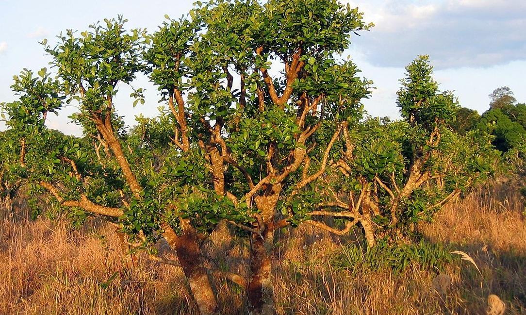 Йохимбе дерево