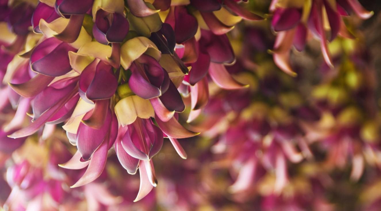цветение мукуны жгучей