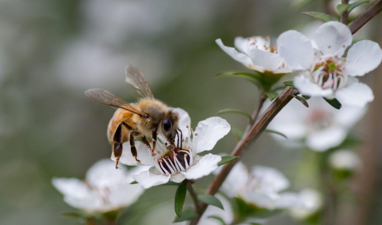 сбор пыльцы пчелами с растения манука