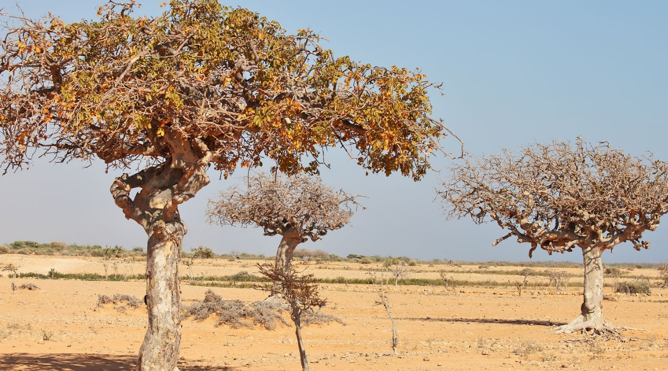 бальзамовое дерево коммифора мукул