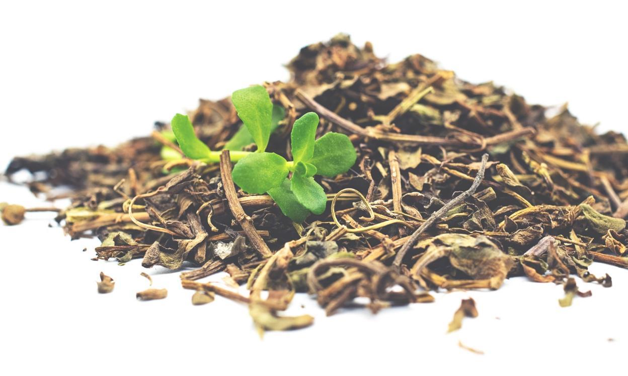 сухая трава бакопа