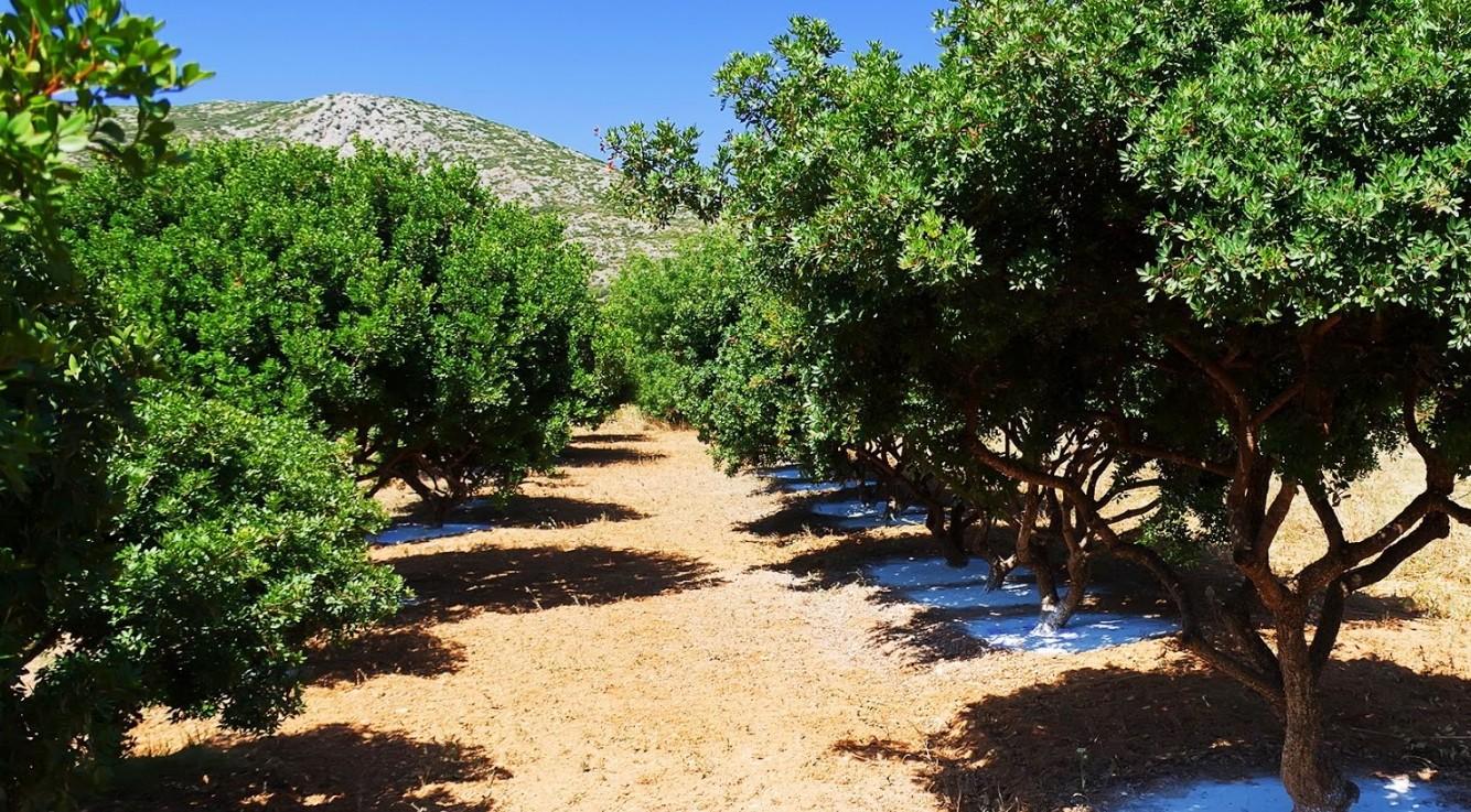 фисташковые деревья острова Хиос