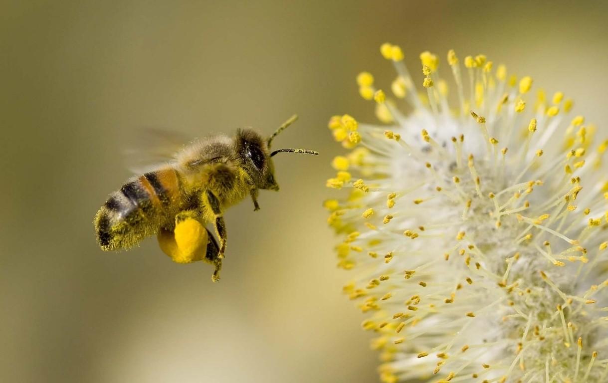 сбор пыльцы пчелой