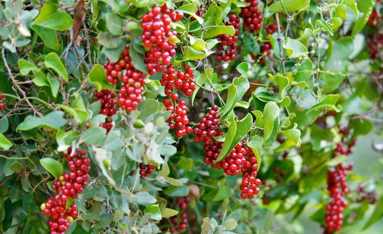 растение смилакс
